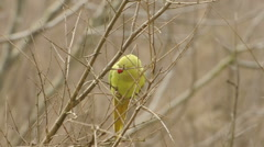 Medium Shot of parrot looking around then flies away from tree Pavia, PV, ITALY Stock Footage