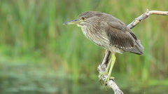 Juvenile Black-crowned night heron perched on a dry branch Stock Footage