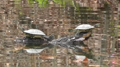 Amid Nature Two Turtles Stretched Out On A Log Sunning Themselves Stock Footage