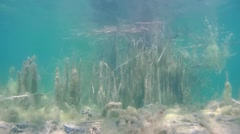 Stock Video Footage of Reeds covered with algae under water