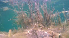 Reeds covered with algae under water Stock Footage