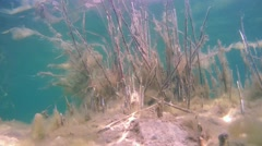 Reeds covered with algae under water - stock footage