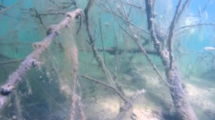 Stock Video Footage of Perch swims among branches of a tree covered with algae in a flooded forest