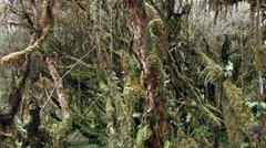 Elfin woodland or high altitude tropical dwarf forest  Stock Footage