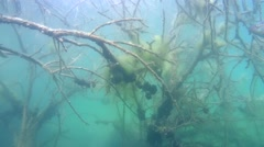 Perch swims among branches of a tree covered with algae in a flooded forest Arkistovideo