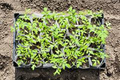 top view of box with young sprouts of tomato plant - stock photo