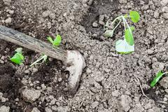 Loosening beds with cabbage shoots by hoe Stock Photos