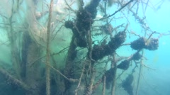 Pike hiding among branches of a tree submerged in an underwater forest - stock footage