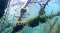 Pike floats among branches of a tree submerged in an underwater forest - stock footage