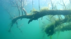 A branch of a tree covered with algae under water - stock footage