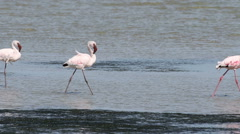 Lesser Flamingos walking accross a shallow estuary Stock Footage