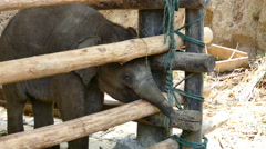 Baby elephant in stable Stock Footage