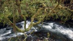Stream running through elfin woodland or high altitude tropical dwarf forest  Stock Footage