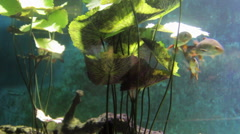 Sterlet and other fish Stock Footage