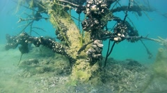 Tree branches covered with algae and seashells in the flooded forest - stock footage