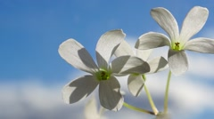 Two flowers on blue sky Stock Footage