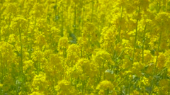 Blooming rapeseed flowers fluttering in the wind in a city park, Tokyo, Japan Stock Footage
