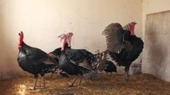 Flock of adult turkey birds on a farm, turkey poultry farming in closed space. - stock footage