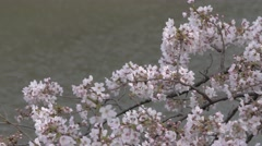 Blooming cherry blossoms fluttering in the wind at Chidorigafuchi moat, Tokyo, Stock Footage
