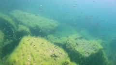 A flock of small roach swims near tree branches covered with algae in a flooded Stock Footage