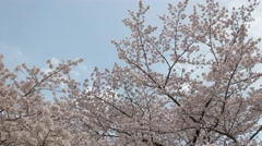 Cherry blossoms in full bloom fluttering in the wind in a city park, Tokyo, Stock Footage