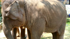 Elephant in stable at Mae Sa elephant camp Stock Footage