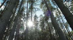 Sun light shining through pine trees branches. Walking through pine forest Stock Footage