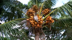 Lots of ripe coconuts in the crown of the palm tree. - stock footage