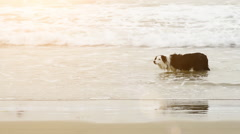 Border collie dog fetching ball in water at beach Stock Footage
