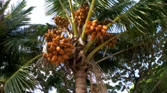 Lots of ripe coconuts in the crown of the palm tree. Stock Footage