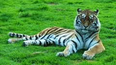 Tiger is largest cat species Stock Footage
