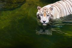 Strong beautiful calm white tiger  in water Stock Photos