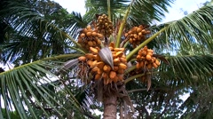 ripe coconuts falling from the crown of a palm tree. - stock footage