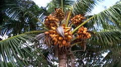 Ripe coconuts falling from the crown of a palm tree. Stock Footage