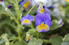 Violet yellowish pansy Stock Photos
