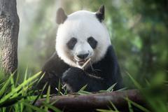 Panda is eating Stock Photos
