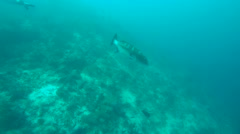 Spotted Coral Trout or Squaretail Leopardgrouper (Plectropomus areolatus) Stock Footage