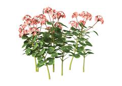 3D Illustration Pink Geranium on White - stock illustration