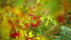 Crataegus commonly called hawthorn Stock Footage