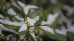 Azaleas are flowering shrubs, genus Rhododendron Stock Footage