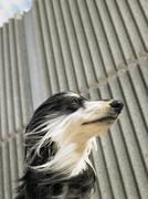Low angle portrait of Afghan hound Stock Photos