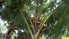 Palm tree with coconuts. Stock Footage