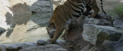 Bengal tiger Stock Footage