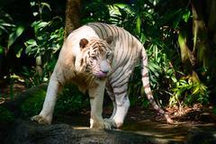 White Tiger in his Habitat Enclosure Stock Photos