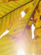 autumn leaf close-up - stock photo