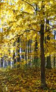 Autumn maple tree forest. - stock photo
