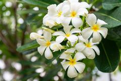 White and Yellow Blooms of a Plumeria Tree Stock Photos