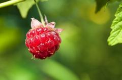 Macro Shot of a Single, Ripe Boysenberry on a Vine Stock Photos