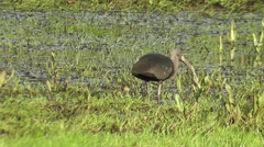 Glossy Ibis Feeding in a flooded meadow Stock Footage