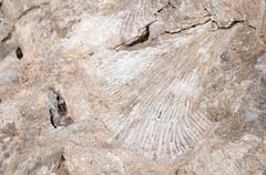 Fossilized Imprint of Coral or a Sea Shell in Beach Rock Stock Photos